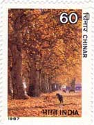 Indian Trees - Chinar